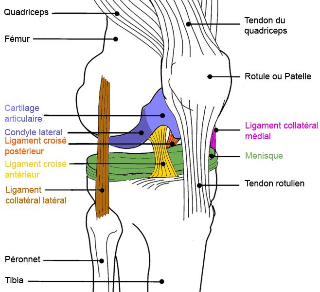 Les accidents musculaires du sportif - L'entorse du genou