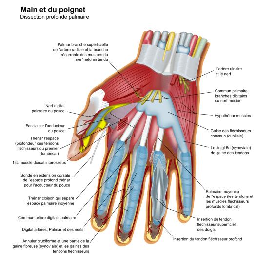 Les accidents musculaires du sportif - Les liaisons tendineuses traumatiques des doigts de la main